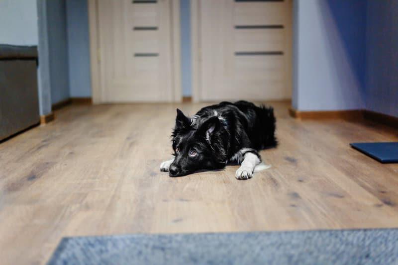 Köpeklerin parkeleri ve mobillyaları çizmesi sonucu varolan çizikleri giderme yöntemleri